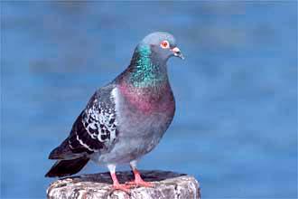 каменный (скалистый) голубь