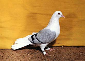 Чистый оловянистый голубь