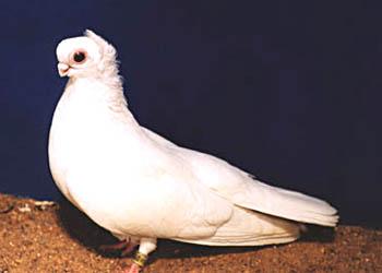 Орловский белый турман