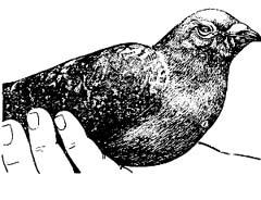 Начальная стадия орнитоза (конъюнктивит)